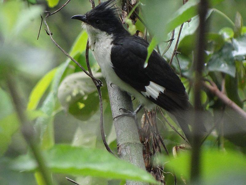 சுடலைக் குயில் (pied cuckoo)