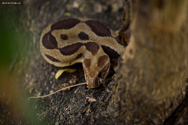 கண்ணாடி விரியன் (Russell's viper), வீரியமிக்க நஞ்சுள்ள பாம்பு வகை