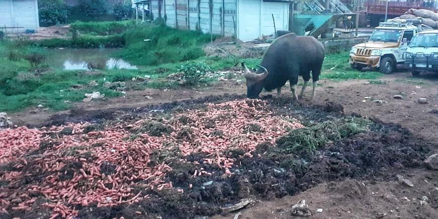 gaur eating waste carrot