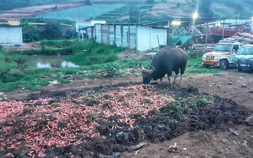 நீலகிரி:  இரண்டாண்டில் 96 காட்டு மாடுகள்! - உயிர் பறிக்கும் ஊட்டி ரசாயன கேரட்டுகள்