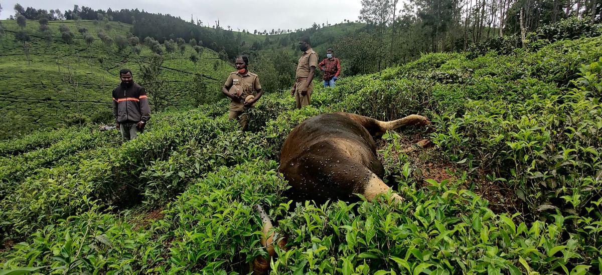 gaur found dead