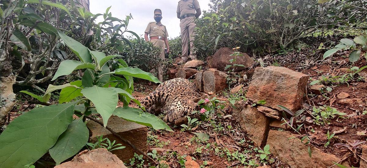 leopard found dead