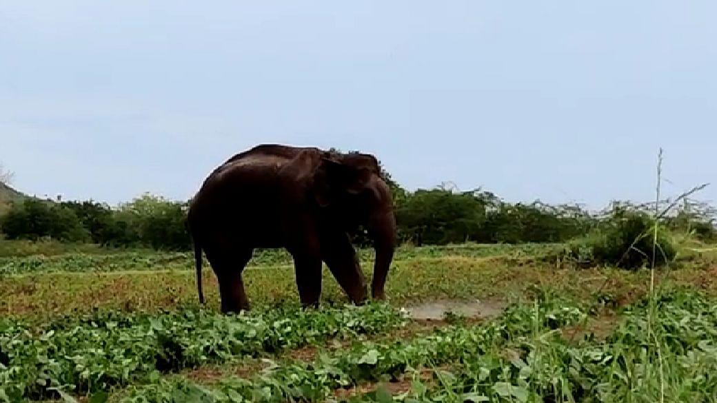மக்னா யானை