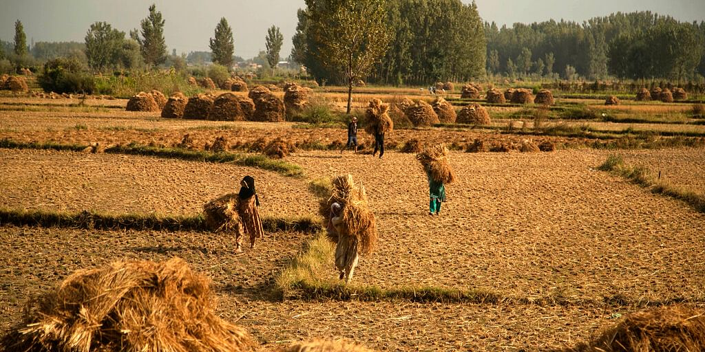 Farmers carry paddy after a harvest in srinagar