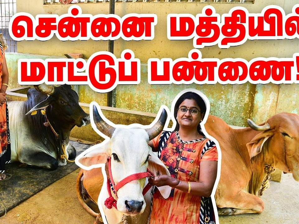 சென்னைக்கு நடுவே கார்ஷெட்டுக்குள் மாட்டுப்பண்ணை... கலக்கும் தம்பதி! #CattleFarm #Chennai