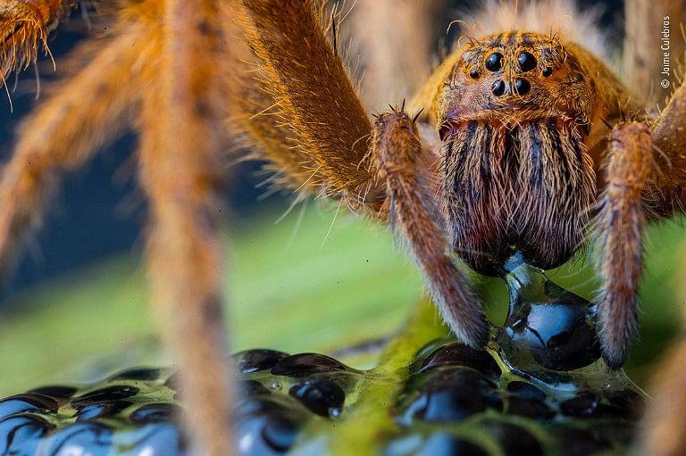 பிரேசில் அலையும் சிலந்தி (wandering spider)
