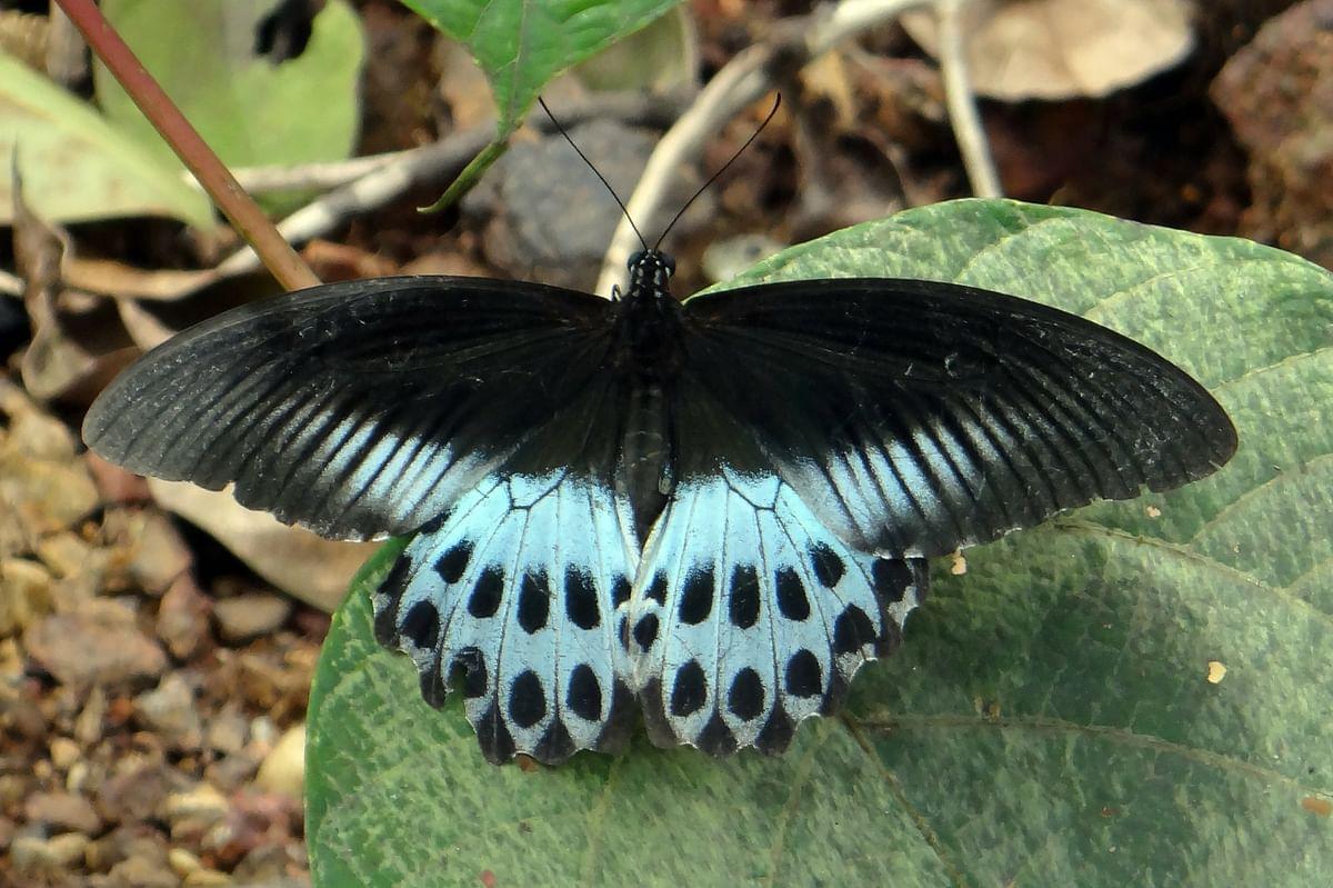 Blue Mormon/ Papilio polymnestor, Maharashtra State butterfly