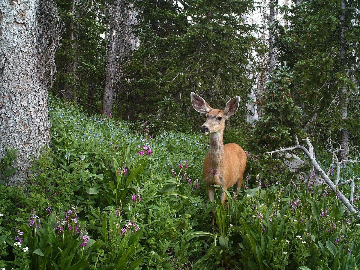 Deer - Representational Image