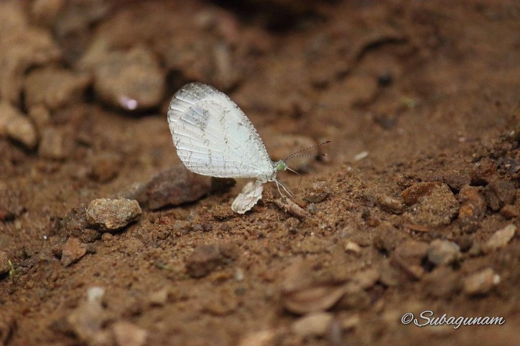 Common psyche/ Leptosia nina
