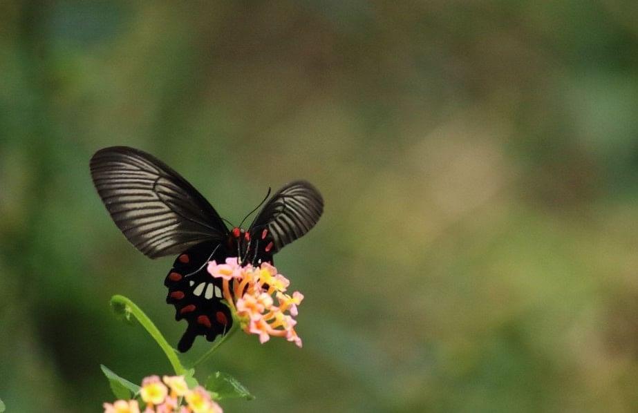 Common rose butterfly/ Pachliopta aristolochiae