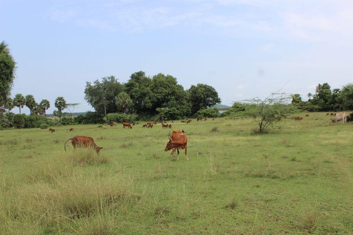 எடமிச்சி ஏரிக்கு அருகில் குவாரி வரவுள்ள பகுதியிலுள்ள மேய்ச்சல் நிலம்