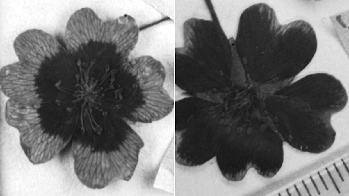 1977-ம் ஆண்டு (இடது) மற்றும் 1999-ம் (வலது) ஆண்டில் பறிக்கப்பட்ட ஒரேவகையைச் சேர்ந்த இரண்டு மலர்கள்