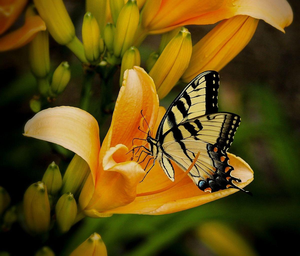 மகரந்தச் சேர்க்கையில் ஈடுபடுகின்ற வண்ணத்துப்பூச்சி