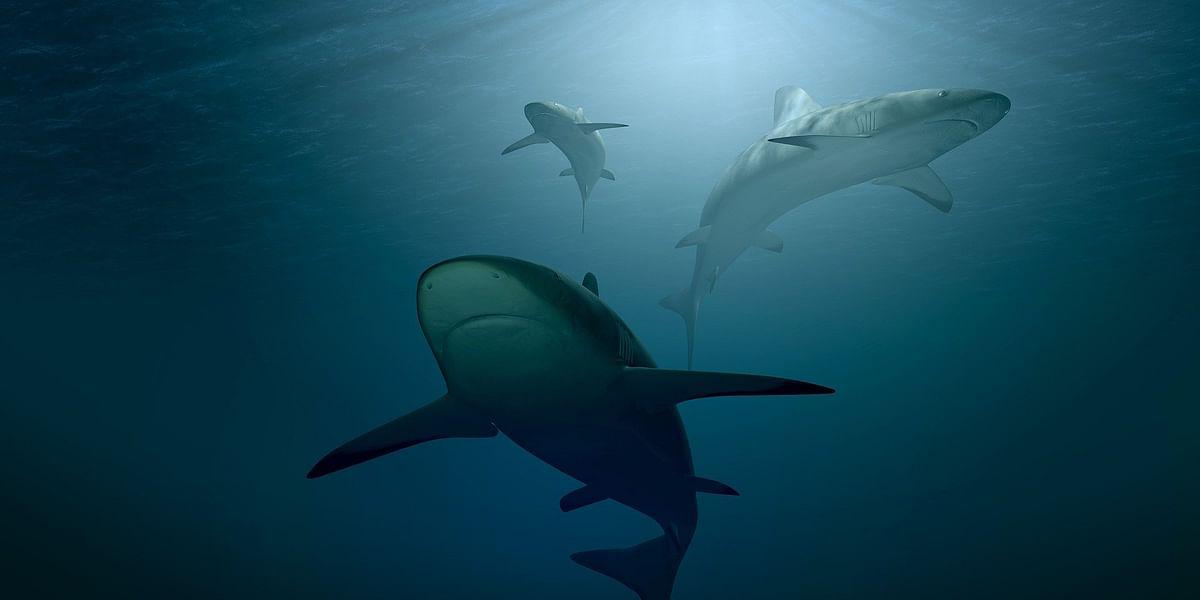 Sharks, சுறாக்கள்