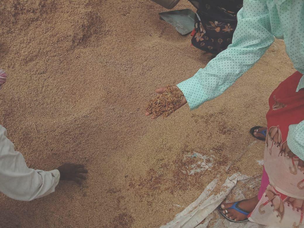 ஈரமடைந்த நெல்