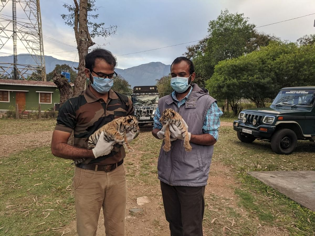 Rescued Tiger cubs