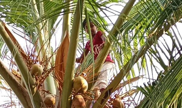 தென்னை மரத்தின் மீது ஹெப்சி ஹேனா