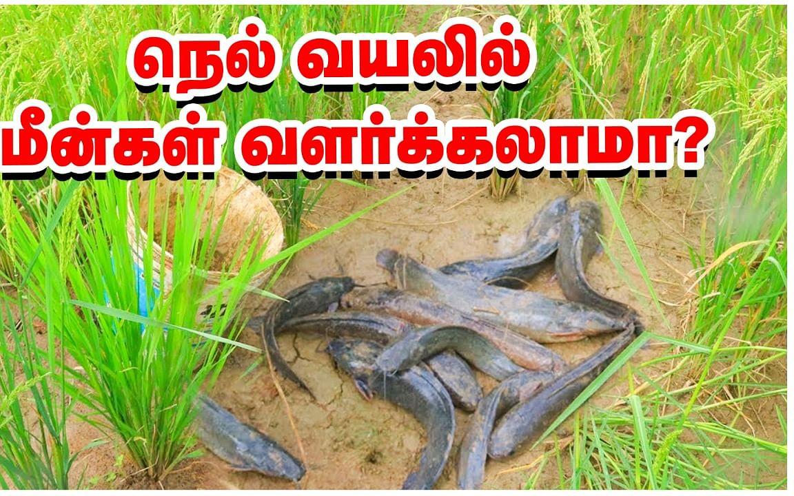 நெல் வயலில் மீன்கள் வளர்க்கலாமா? - கேள்விகளும்... பதில்களும்!   Rice fish farming system