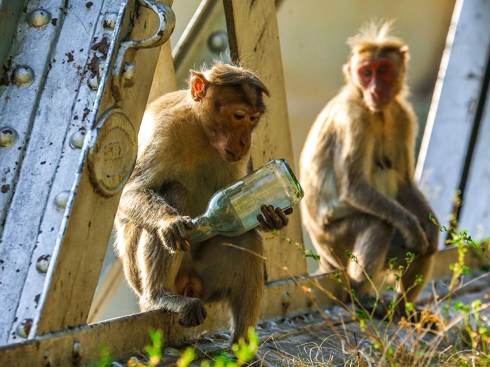 தென்னிந்தியாவின் முதல் குரங்குகள் மறுவாழ்வு மையம் தெலங்கானாவில்... எதற்காக?