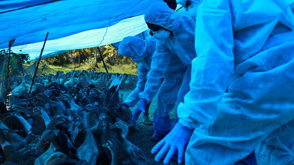Bird flu was detected among domestic birds in Kerala