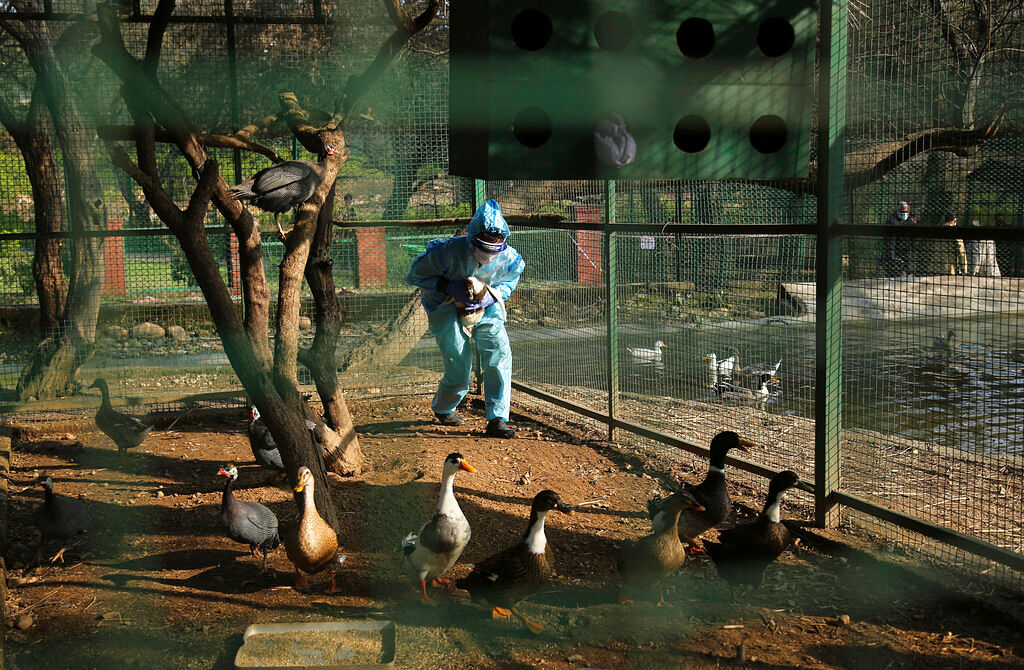 An Indian wildlife department doctor catches ducks to collect swabs samples at Manda park in Jammu, India