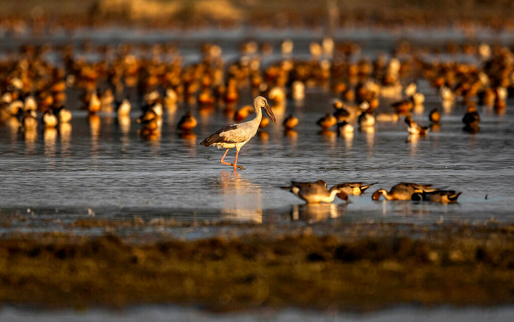 Migratory birds are seen at a wetland in Pobitora Wildlife sanctuary, outskirts of Gauhati, northeastern state of Assam