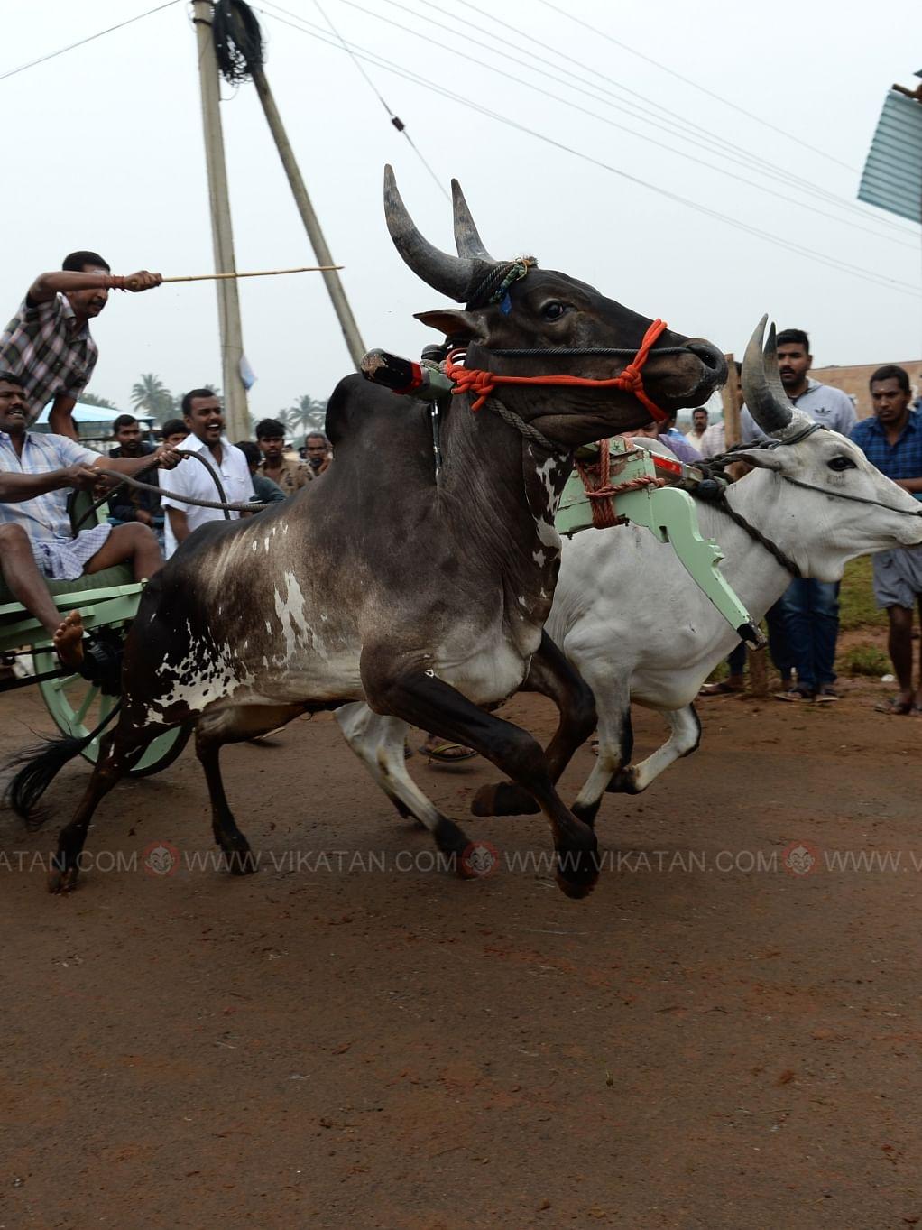 கோவையில் ரேக்ளா திருவிழா