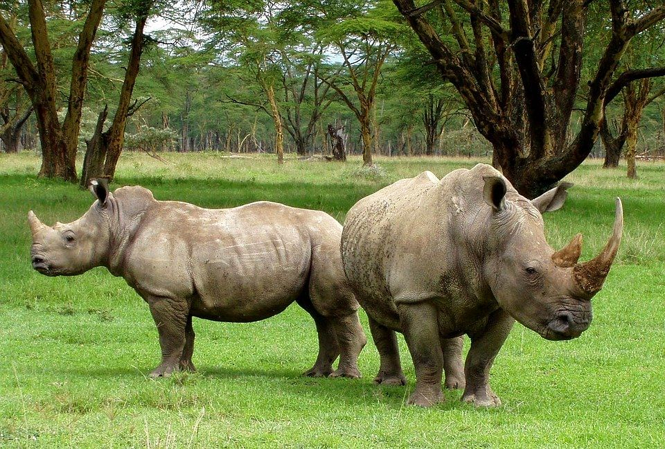 White Rhinos | Nakuru National Park, Kenya
