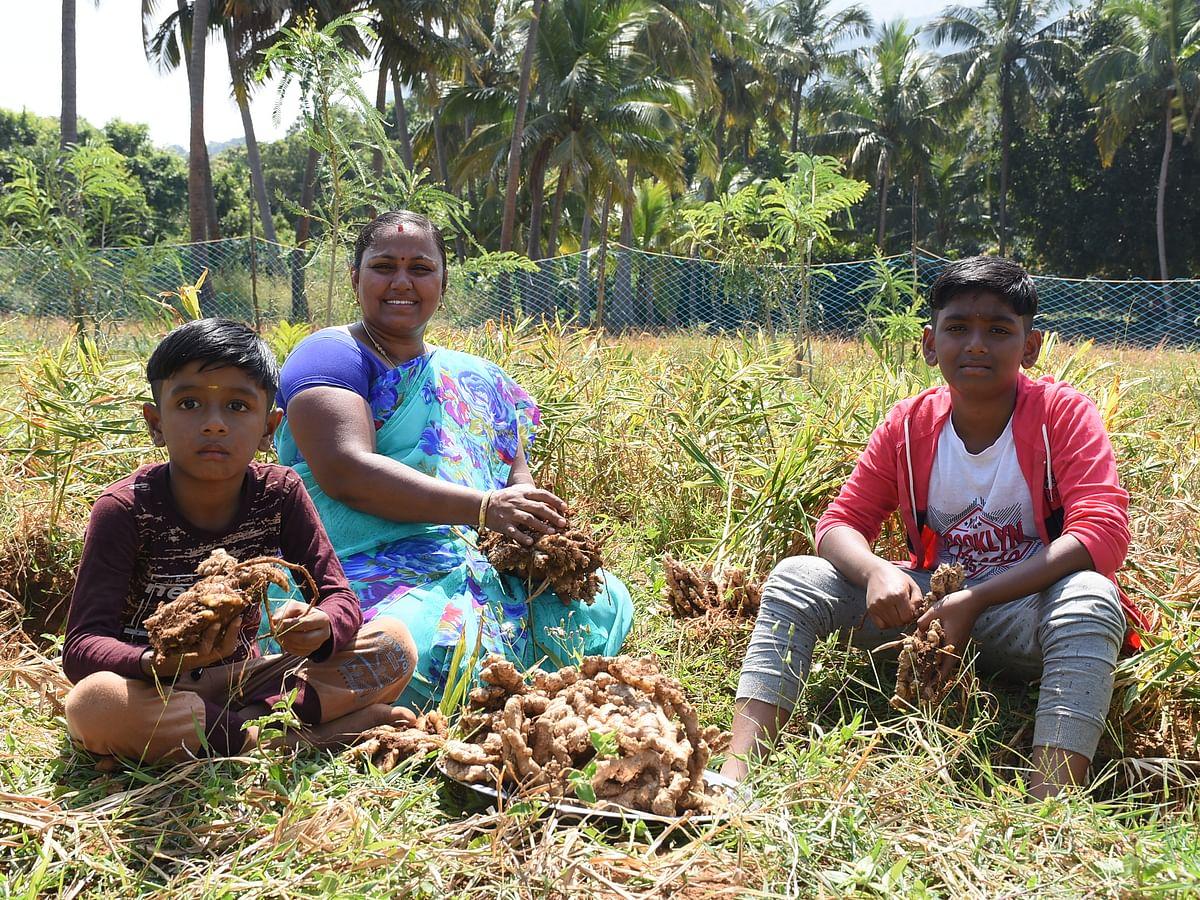 50 சென்டில் ₹1 லட்சம் லாபம்... அசத்தும் இஞ்சி சாகுபடி! | Ginger Cultivation