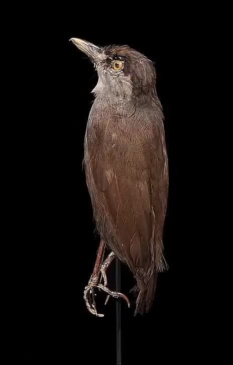 Black Browed Babbler