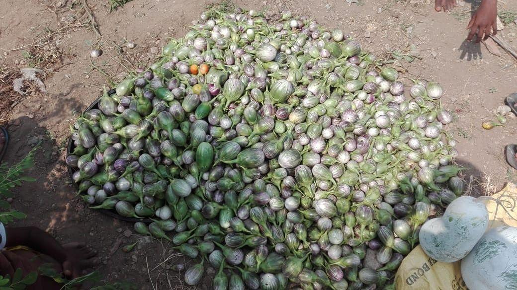 சமுதாயக் காய்கறித் தோட்டத்தில் விளைந்த கத்திரிக்காய்