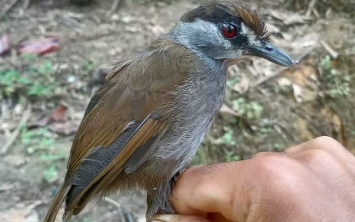 Black-browed Babbler: 170 ஆண்டுகளுக்குப் பின் இந்தோனேஷியாவில் தென்பட்ட அரிய பறவையினம்!