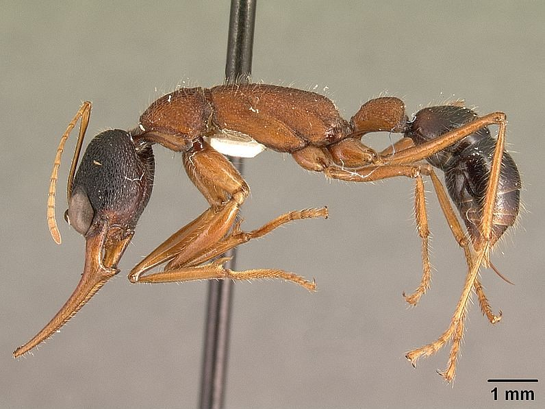 இந்திய குதிக்கும் எறும்பு/ Indian Jumping ants