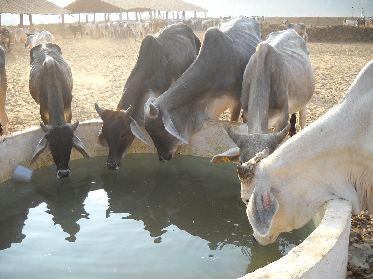கோவிஜ்யன் அனுசாந்தன் கேந்த்ராவில் உள்ள மாடுகள்