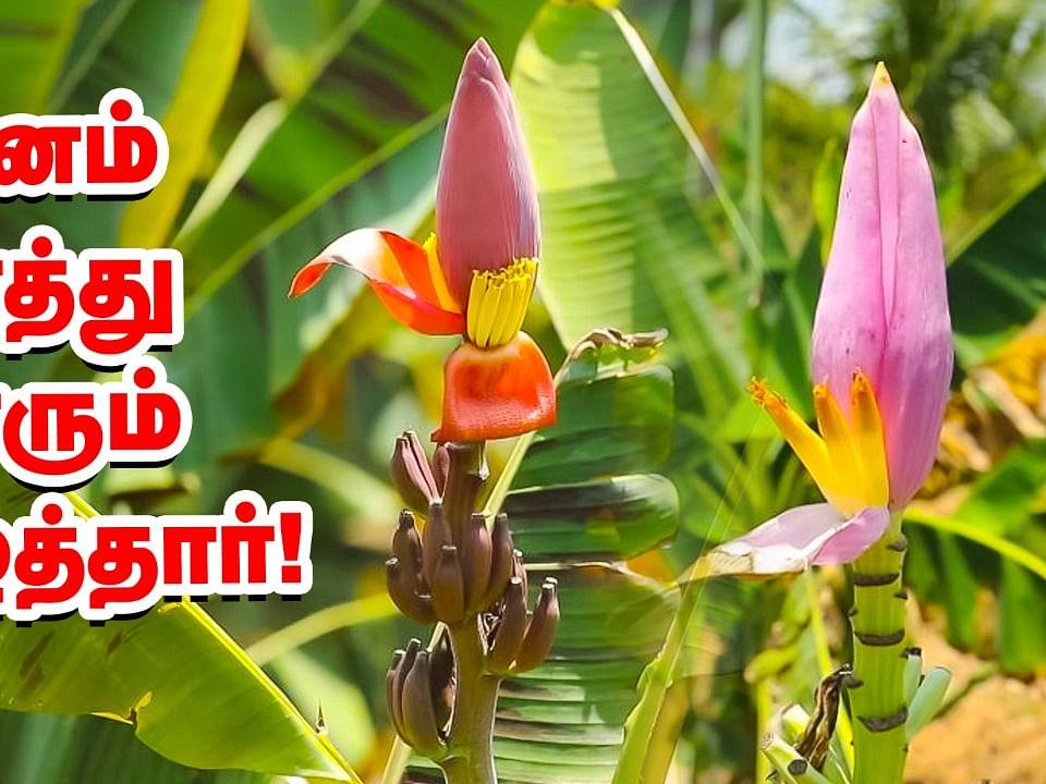 பிங்க் நிற வாழை இப்போ தமிழ்நாட்டில்... அசத்தும் ஆராய்ச்சி நிலையம்!