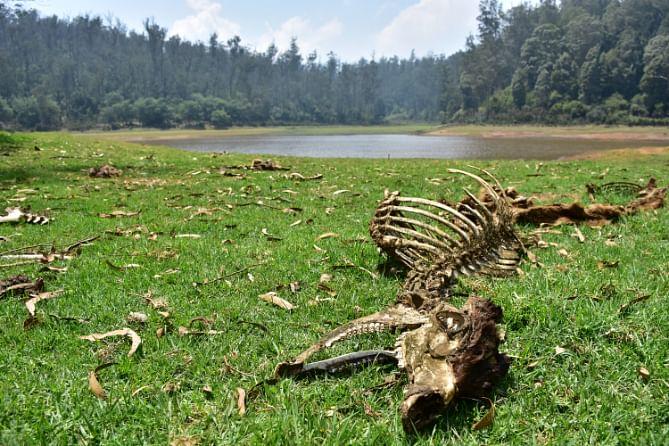 sambar deer found dead