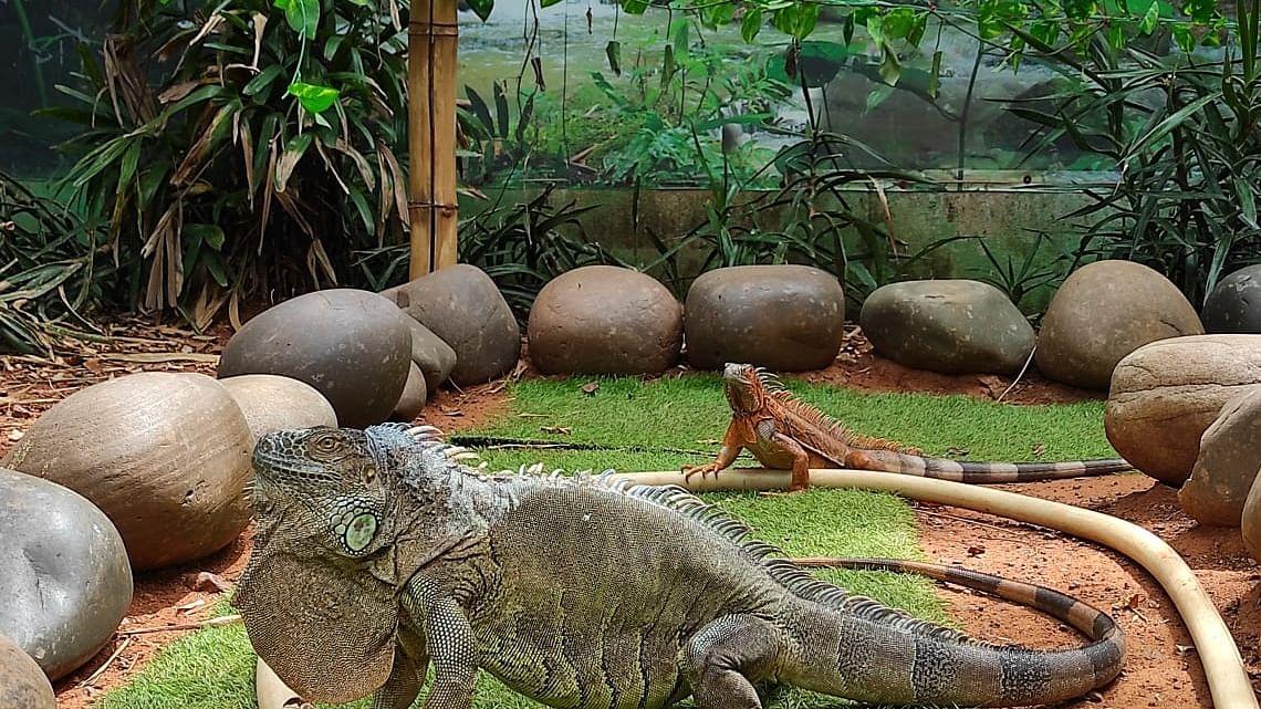 American Iguana/ Chennai Snake Park