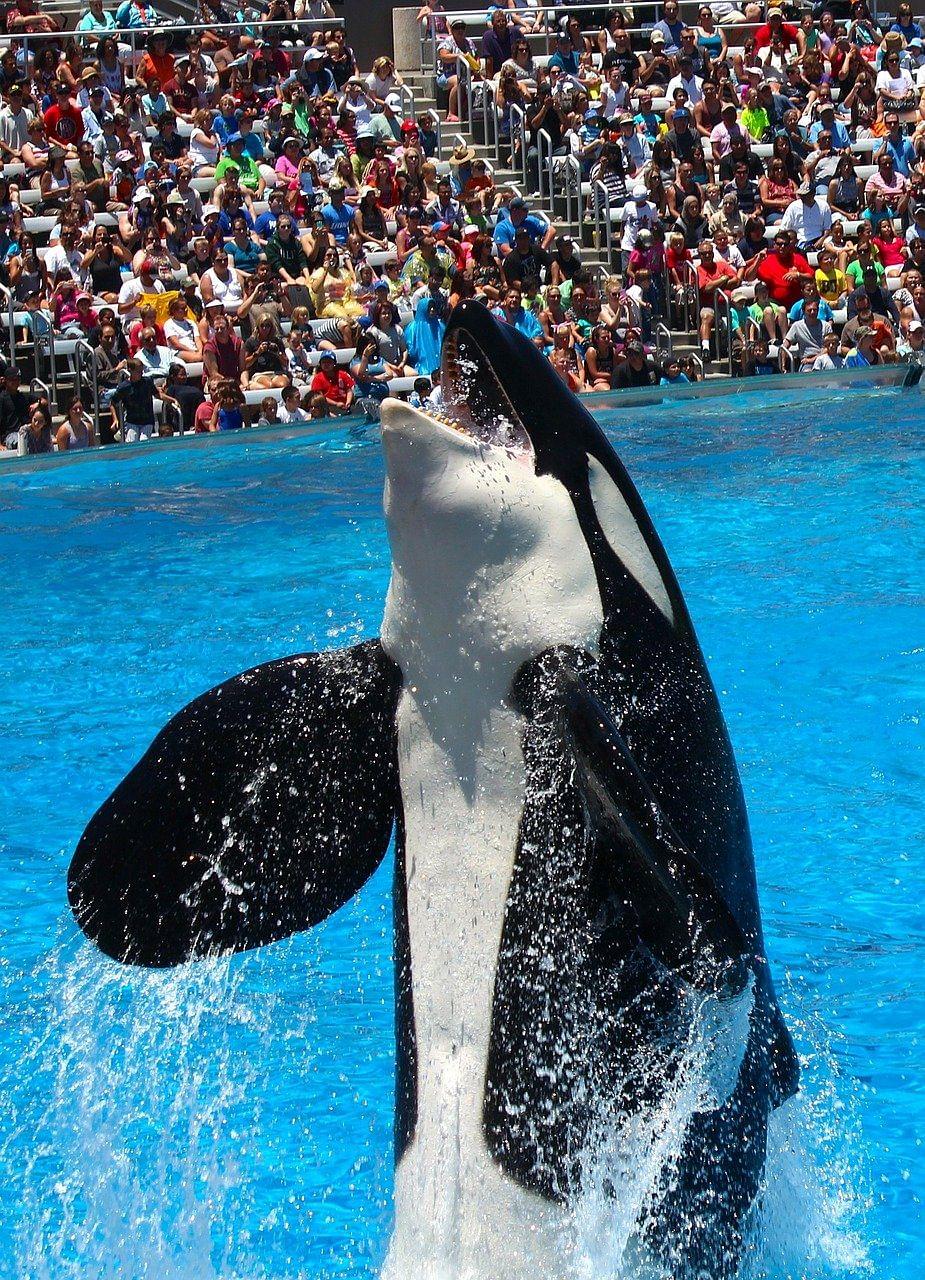 ஆர்கா (Orca/Killer whale)