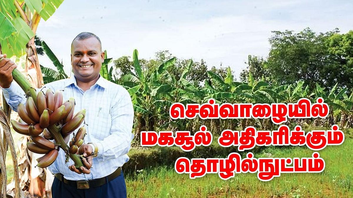 Red Banana Farming