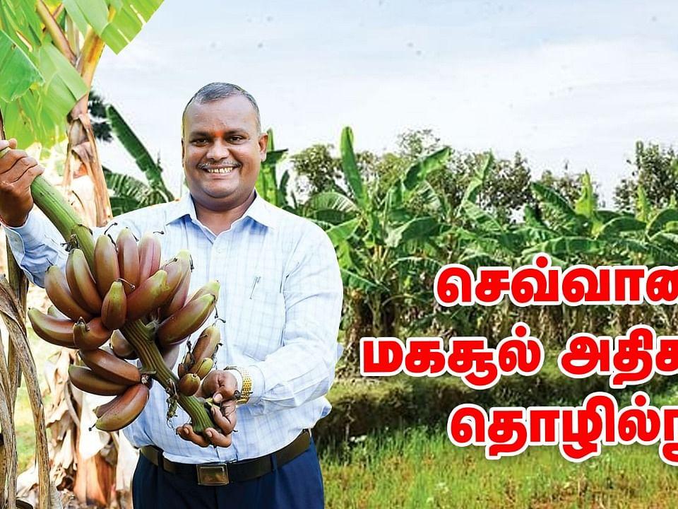 செவ்வாழை நேரடி விற்பனையில் நல்ல லாபம்! | Red Banana Farming