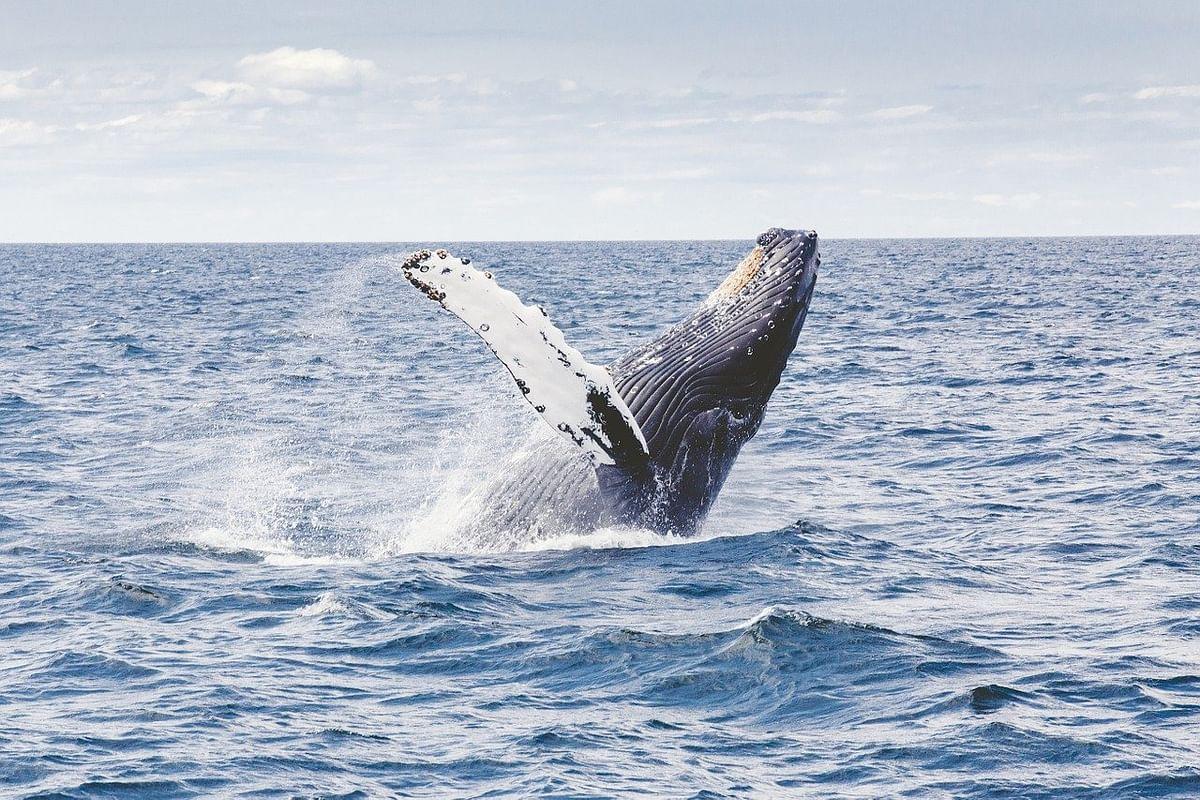கூன்முதுகுத் திமிங்கிலம் (Humpback Whale)