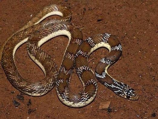 தமிழ்நாட்டில் கண்டுபிடிக்கப்பட்ட 100-வது பாம்பு வகை; உதவிய 185 ஆண்டுக்கால பழைமையான ஓவியம்!