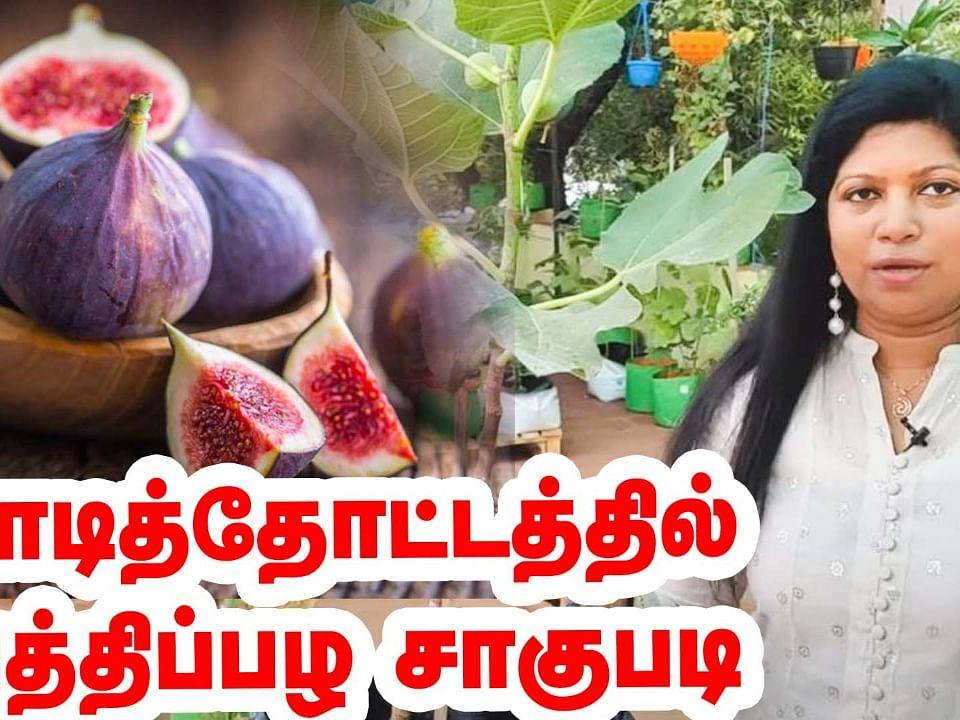 மாடித்தோட்டத்தில் அத்திப்பழ சாகுபடி | Fig Fruit in Terrace Garden