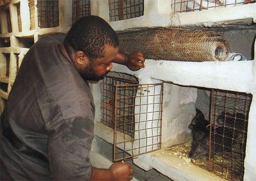 Nigerian Grasscutter farming