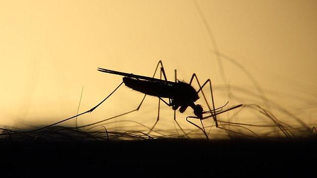 Mosquito (Representational Image)