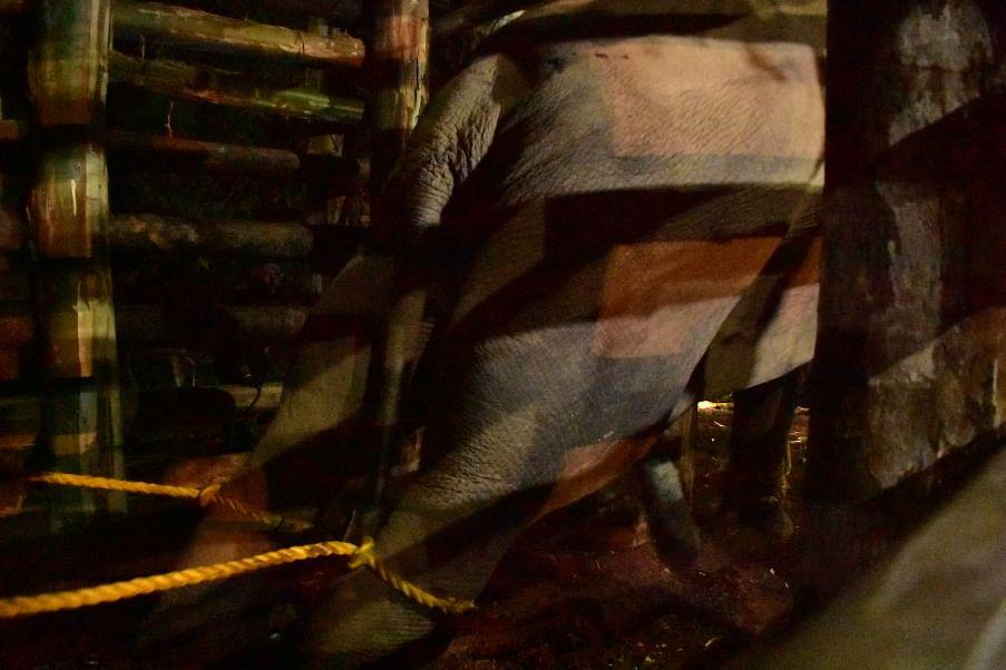 மயக்க ஊசி; தீவிர கண்காணிப்பு; 'உடைந்த கொம்பன்' சங்கர் மீட்கப்பட்ட பின்னணி! #VikatanPhotoStory