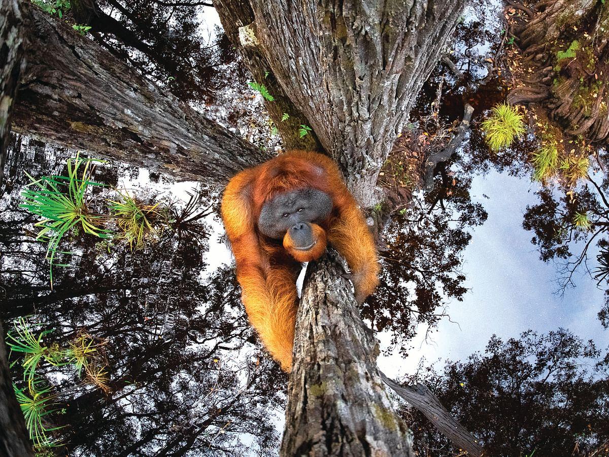 Orangutan - Wild Life Award Winning Photograph