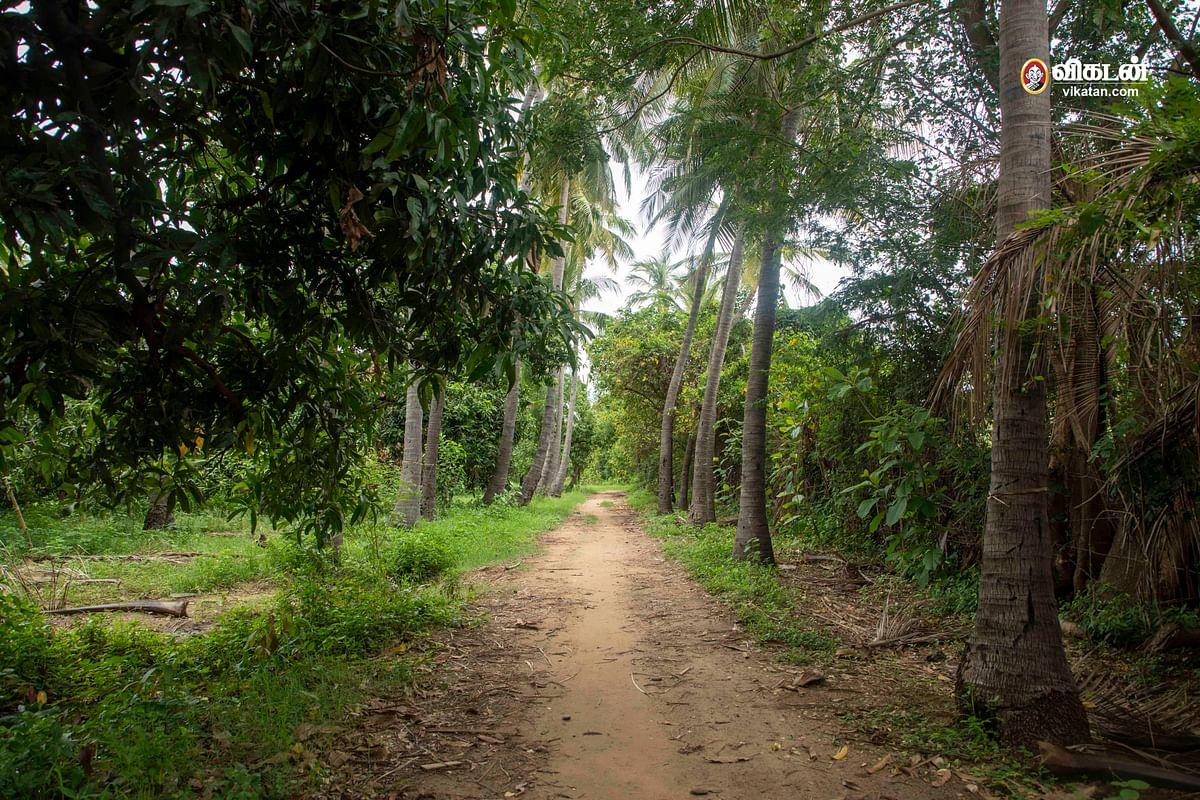 மாமரம், தென்னை தோட்டம்