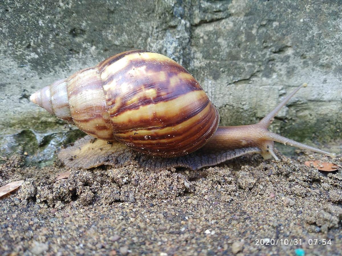 Arfican Giant Snail