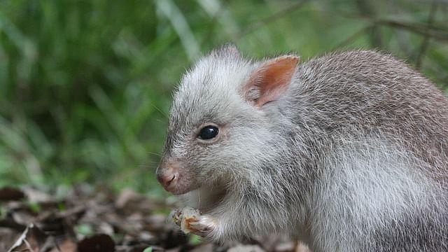 Rat (Representational Image)